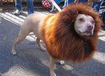 a97115_g079-15-lion2_large