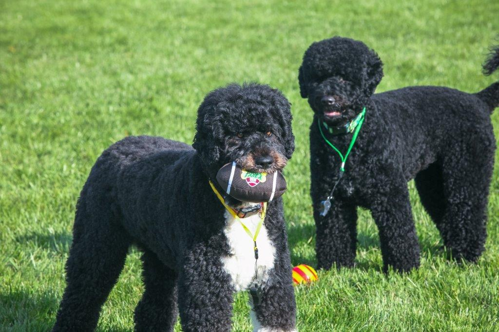 Puppy Bowl Training At The White House Barking Beast