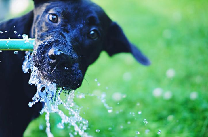 dog-drinking-from-a-water-hose-crissy-kight-wwwdearcrissycom