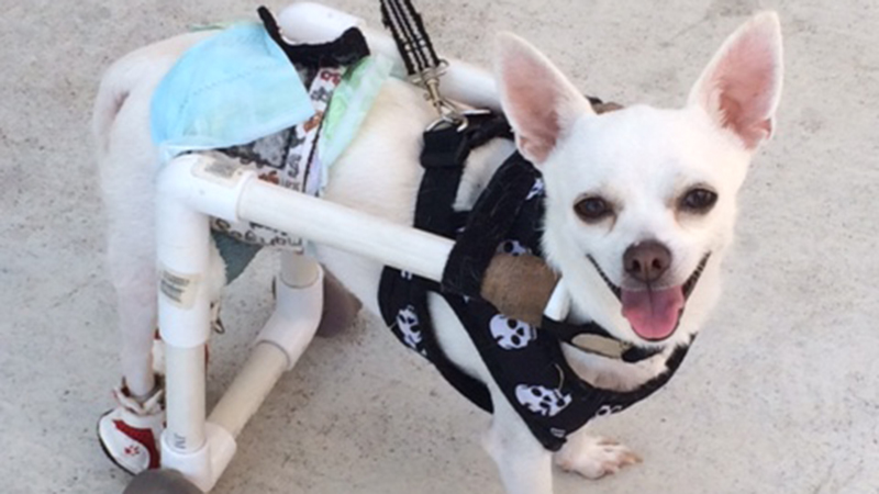 Sparky has proved to be a resilient little guy who loves to play with toys and can outrun you on his custom set of wheels.