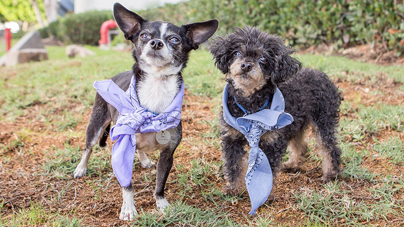 Toby and Bo, 13 year old Chihuahua and Toy Poodle, are a bonded pair, both great with kids, dogs, and cats in any home. Even in their sleep they can be found cuddling side by side!