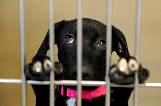 Wicked Local Photo by David Sokol 03/22/11 Lab mix Brittany looks out from her kennel for a story about the Northeast Animal Shelters stray dogs from Puerto Rico program may be facing some problems with receiving dogs due a flight change in airlines.